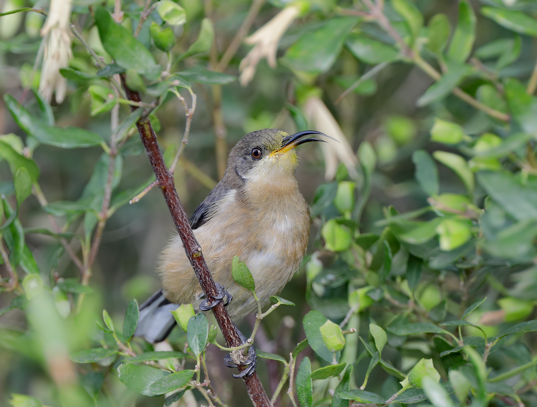 Eastern Spinebill (Image ID 40287)