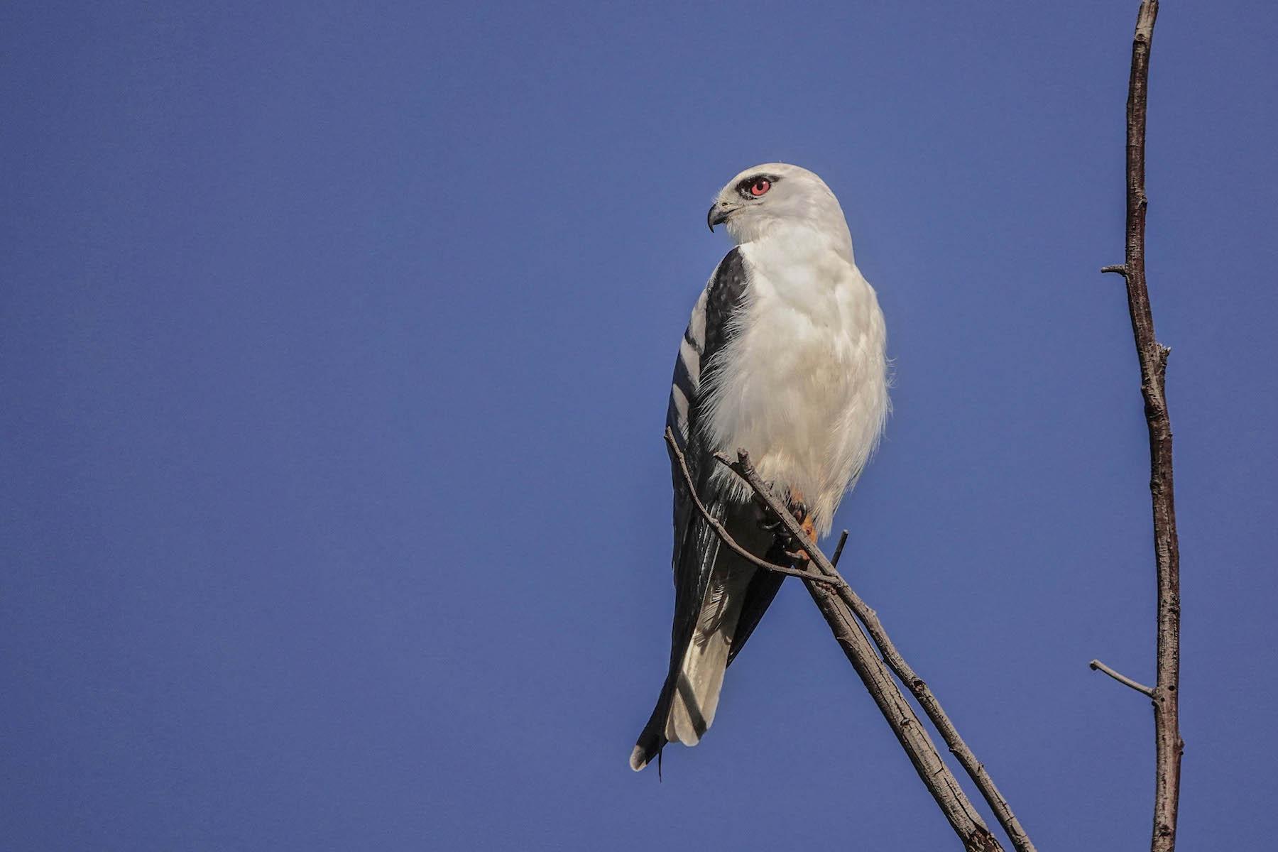 Black-shouldered Kite (Image ID 39925)