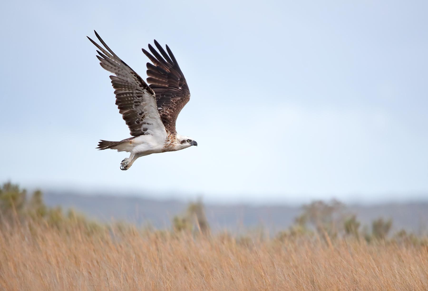 Osprey (Image ID 40275)