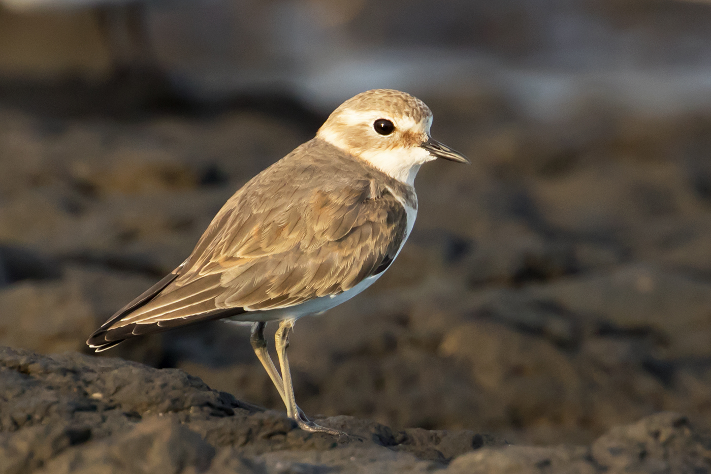 Double-banded Plover (Image ID 40079)