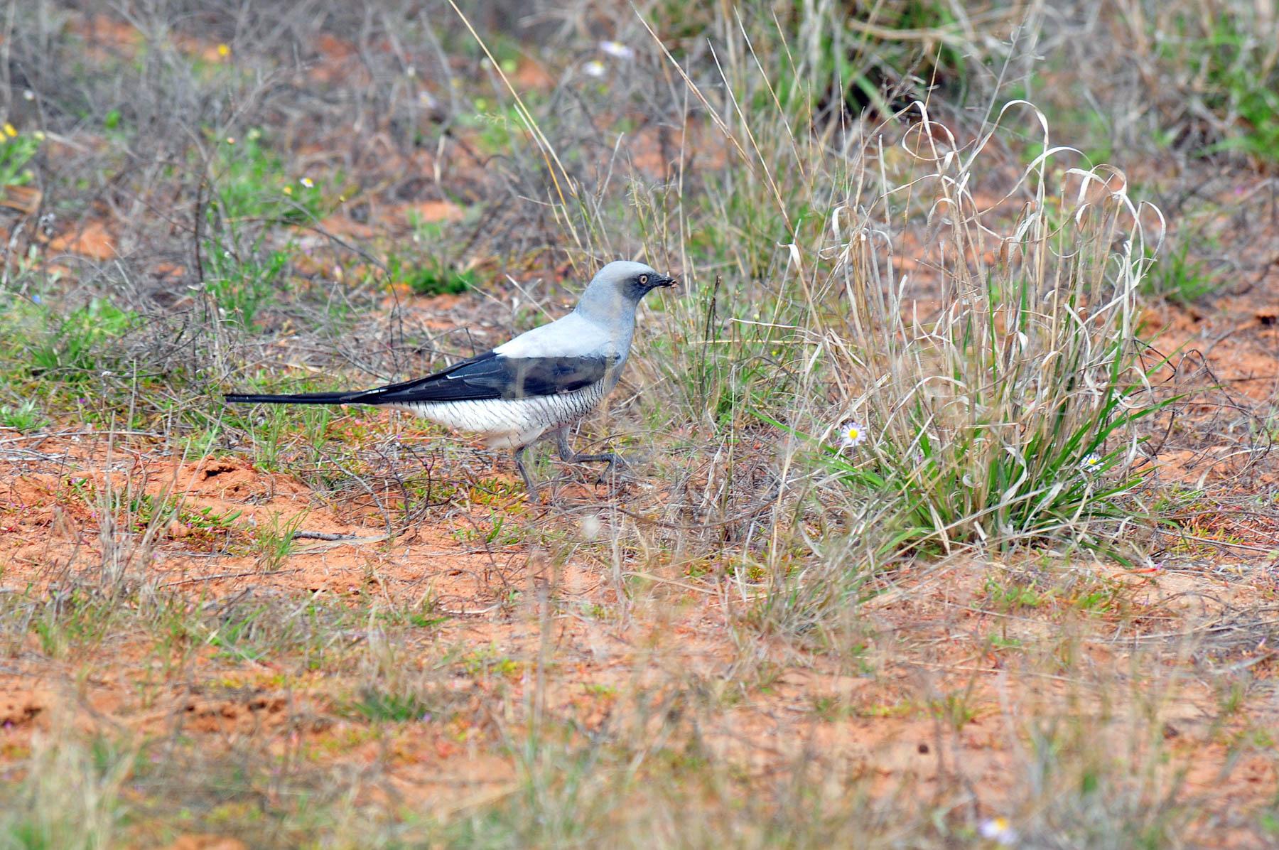 Ground Cuckoo-shrike (Image ID 40081)