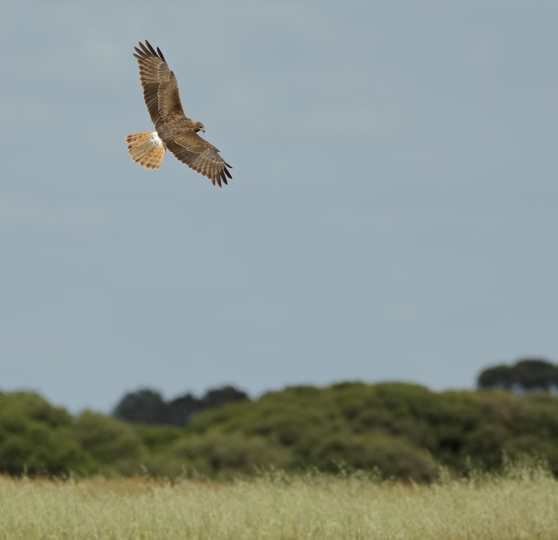 Swamp Harrier (Image ID 40211)