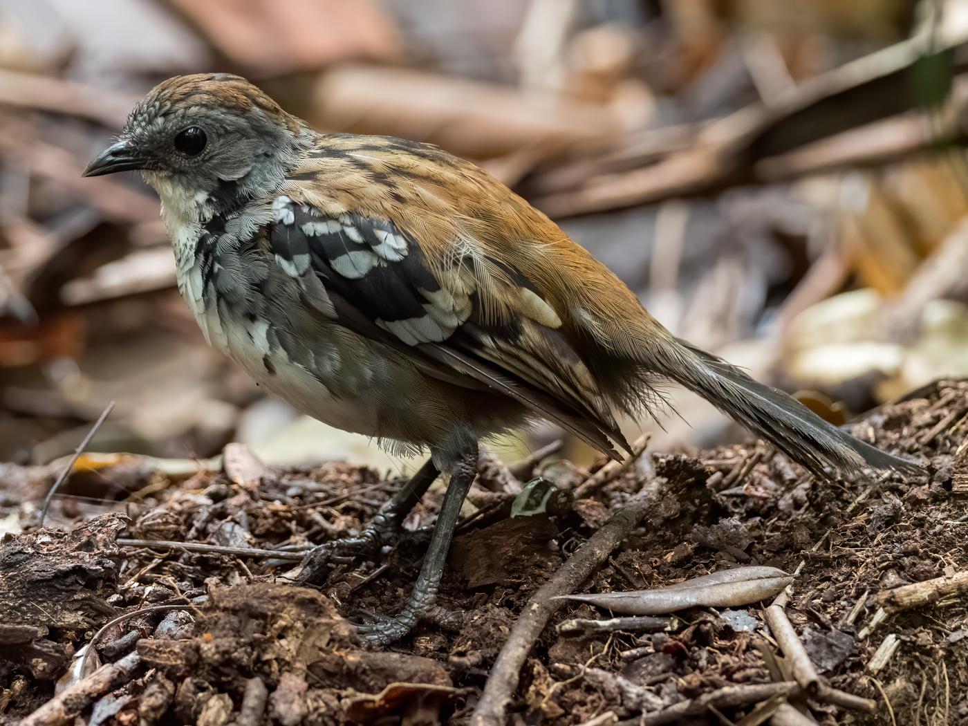 Australian Logrunner (Image ID 39906)