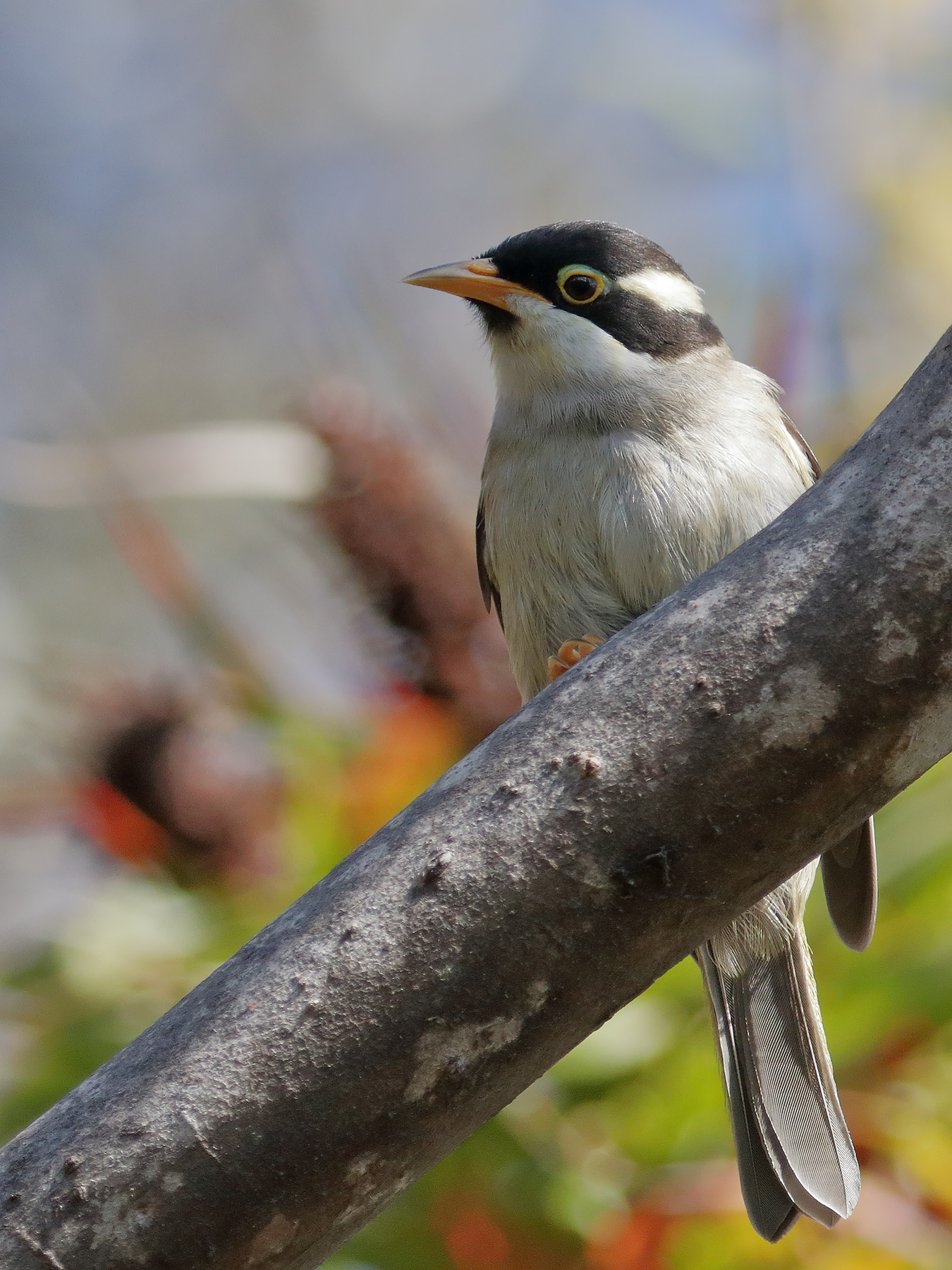Strong-billed Honeyeater (Image ID 40097)