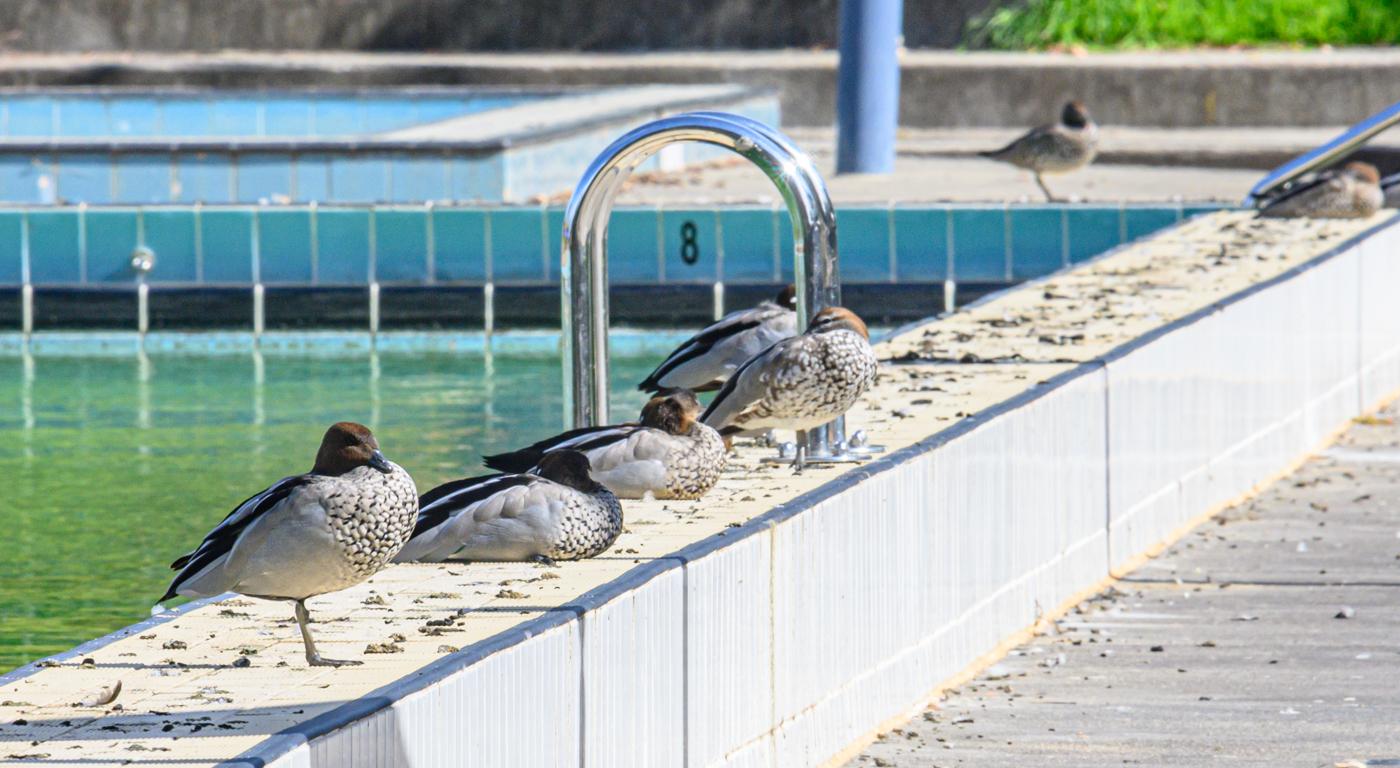 Australian Wood Duck (Image ID 40272)