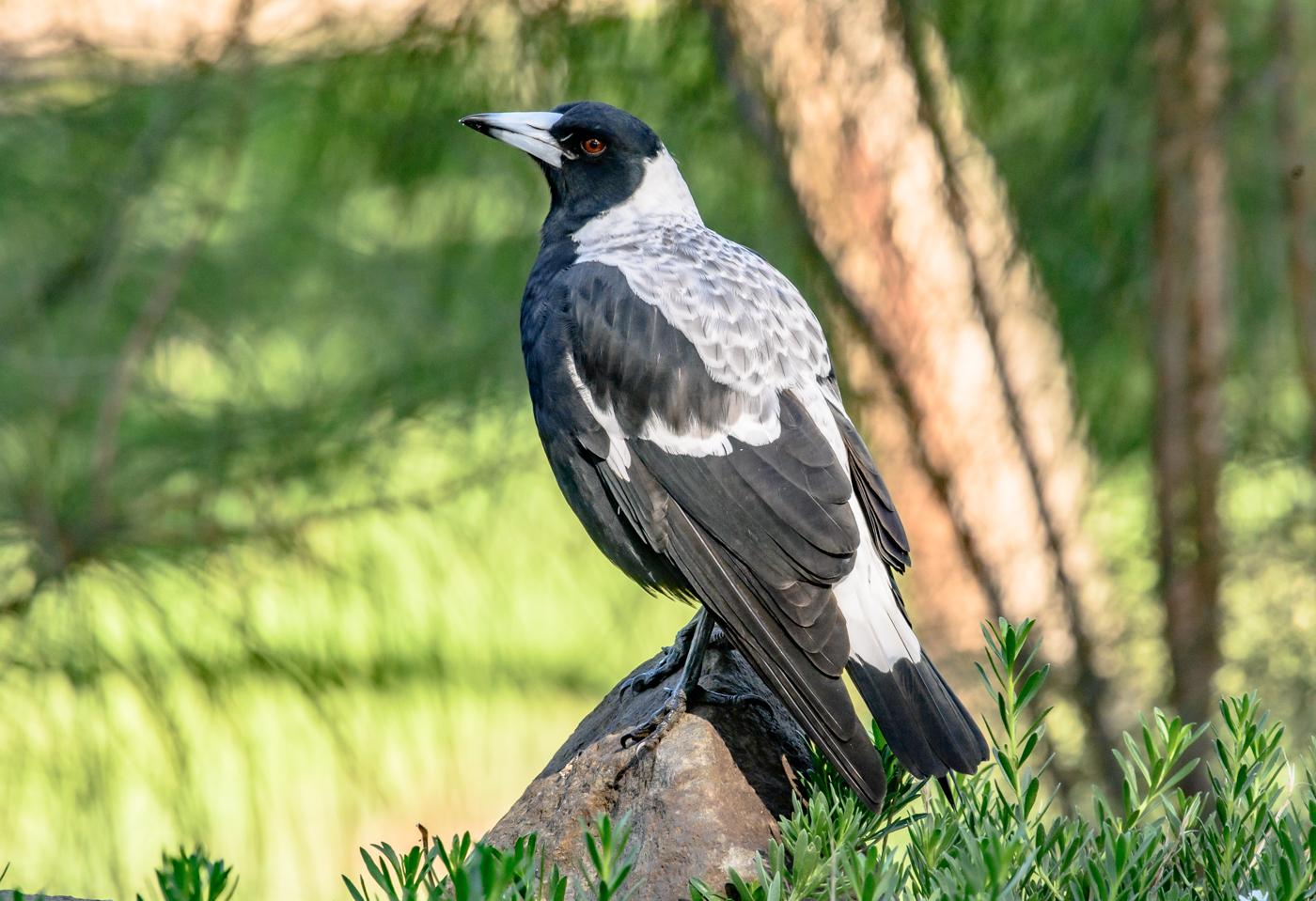 Australian Magpie (Image ID 40112)