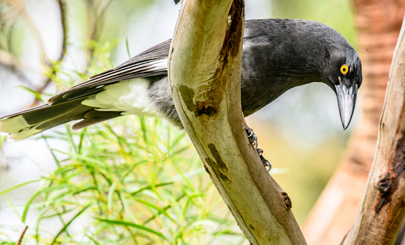 Pied Currawong (Image ID 40254)