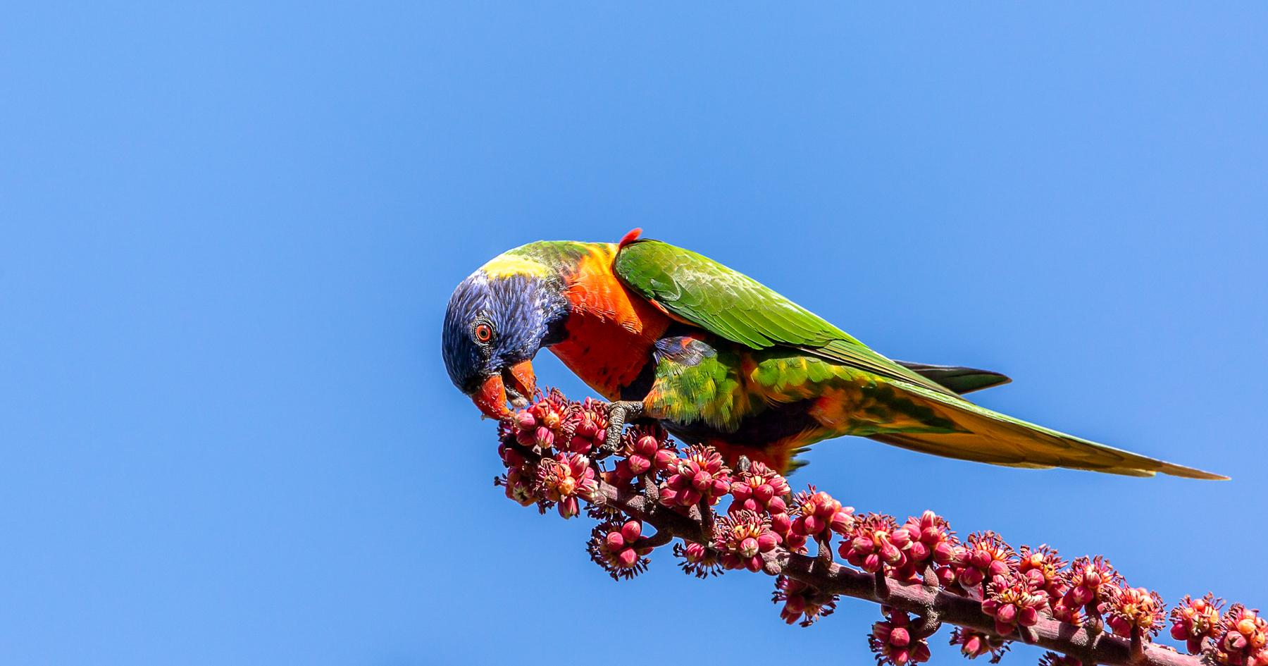 Rainbow Lorikeet (Image ID 39974)