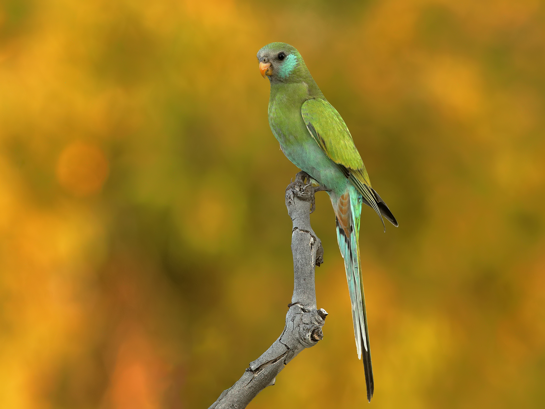 Hooded Parrot (Image ID 40053)