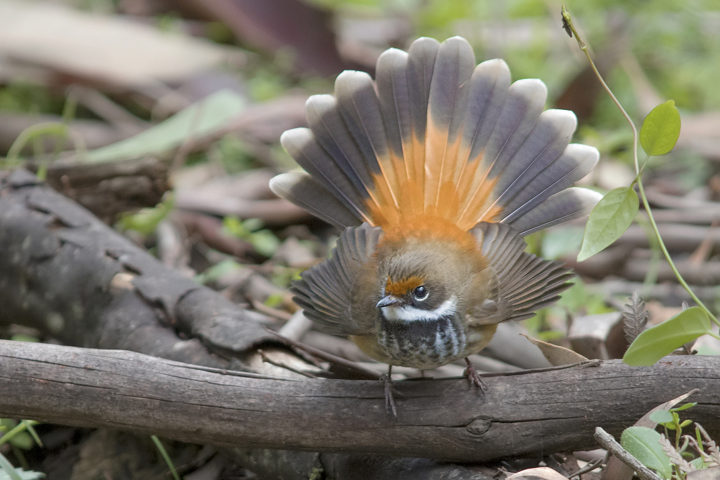 Rufous Fantail (Image ID 39890)