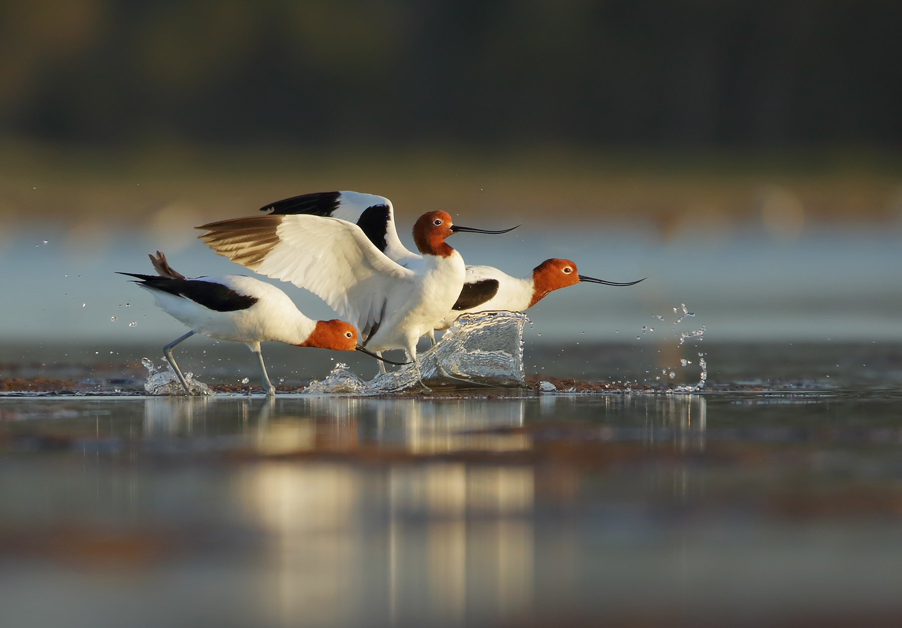 Red-necked Avocet (Image ID 39859)