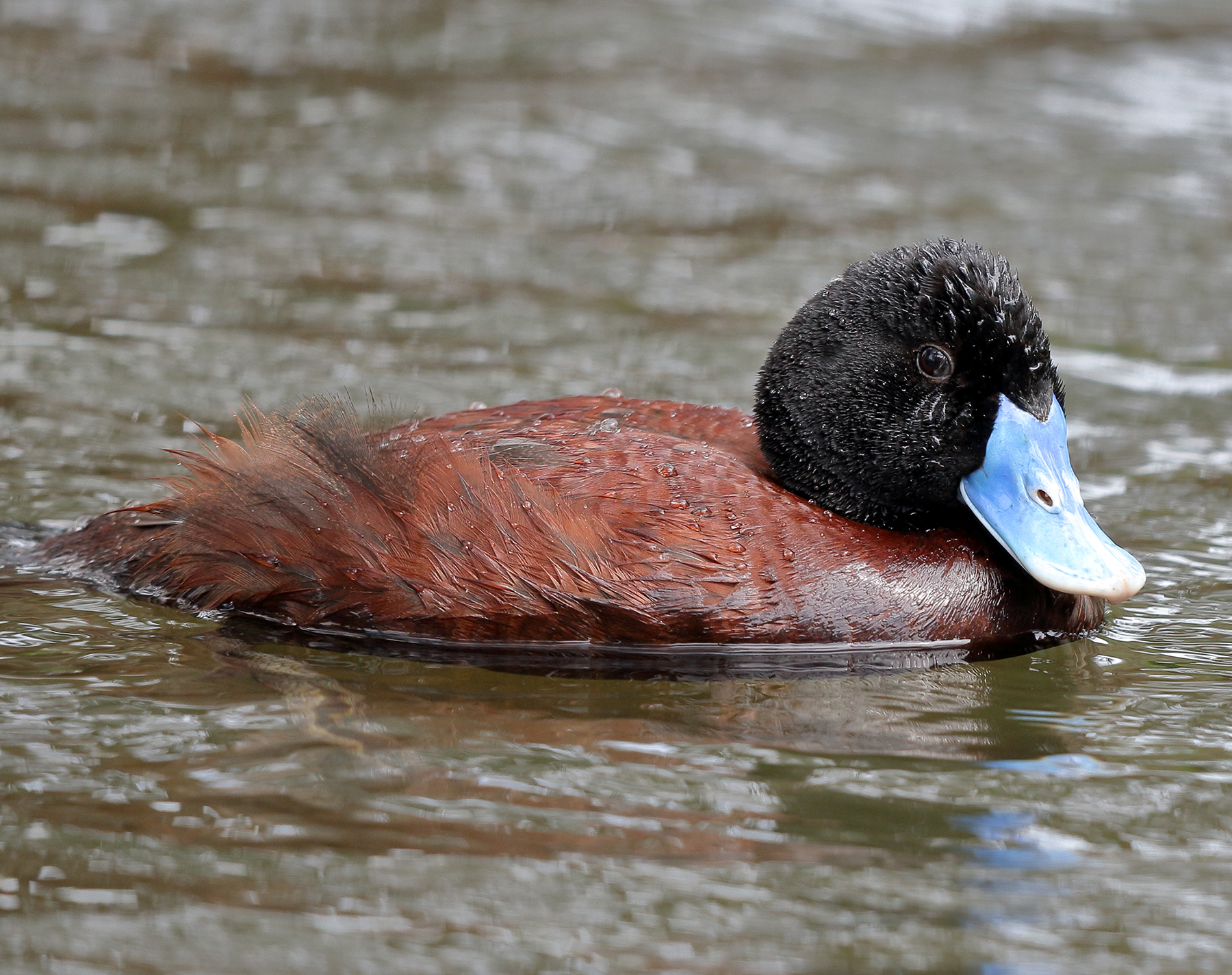Blue-billed Duck (Image ID 39997)