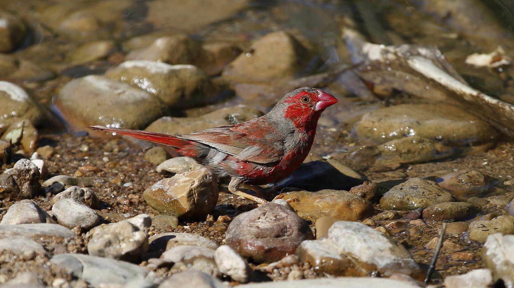 Black-bellied Crimson Finch (Image ID 40167)