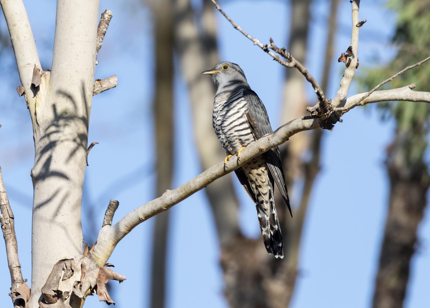 Oriental Cuckoo (Image ID 40192)