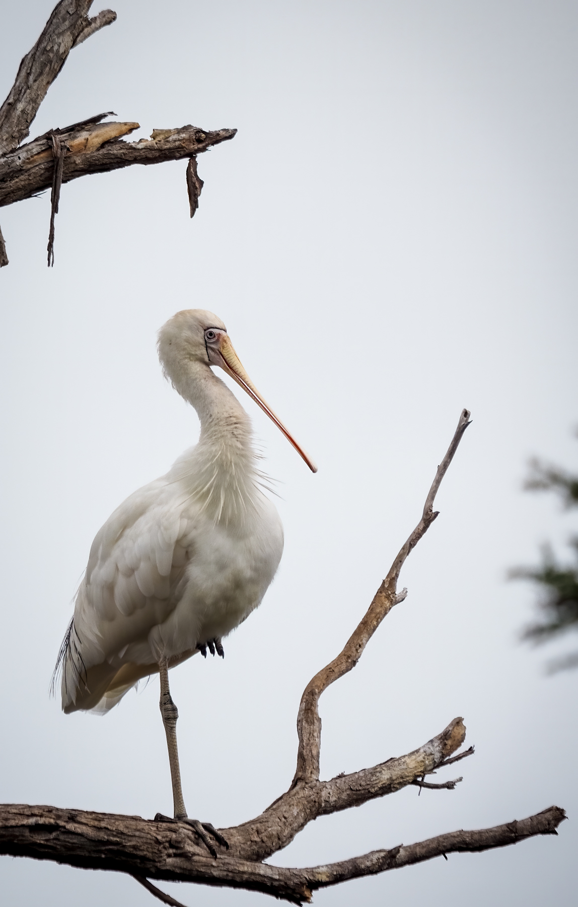 Yellow-billed Spoonbill (Image ID 40281)