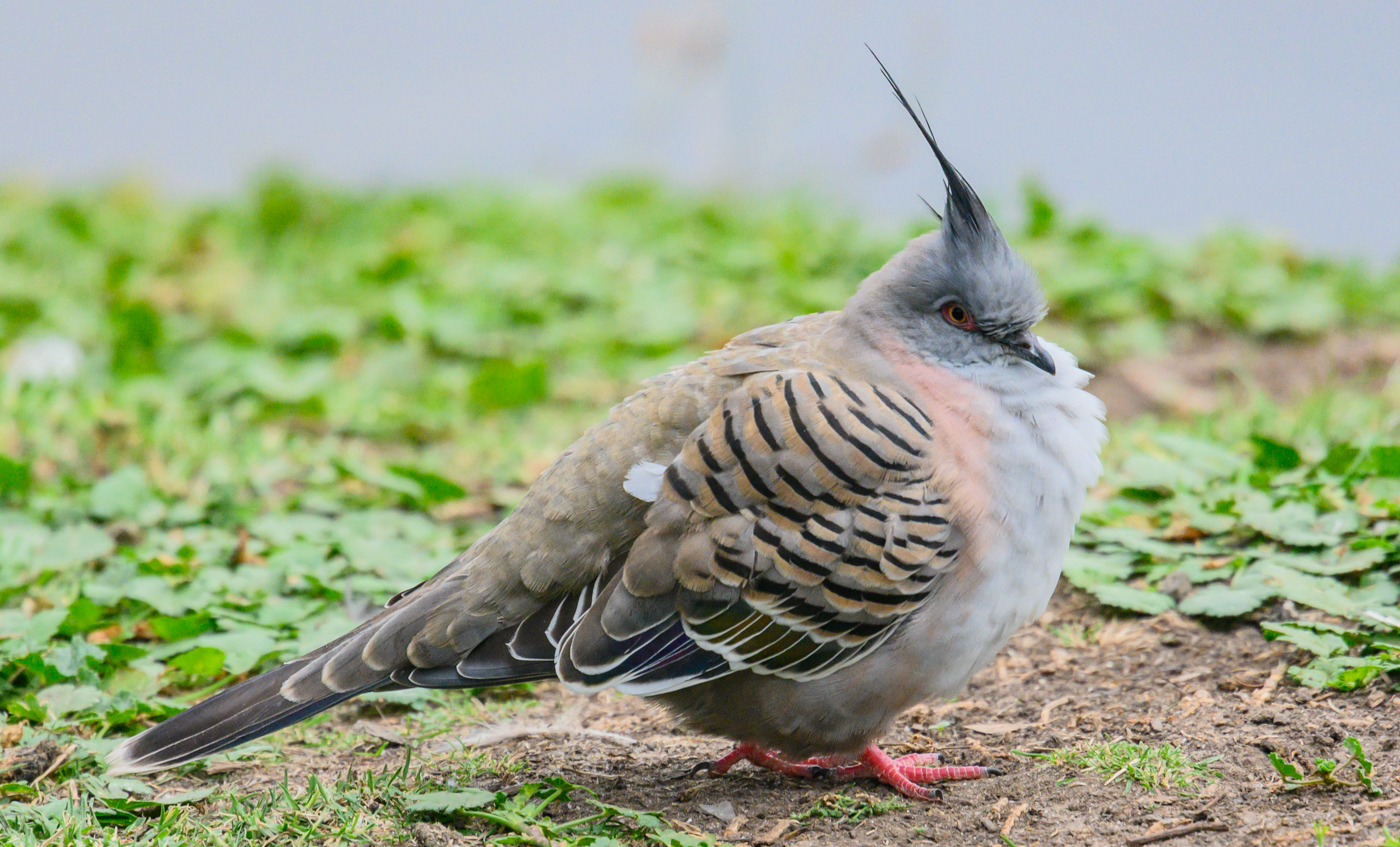 Crested Pigeon (Image ID 39981)