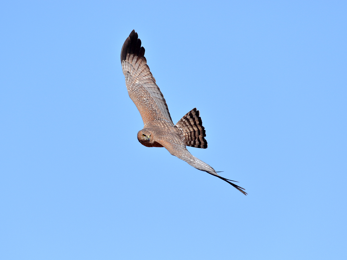 Spotted Harrier (Image ID 39818)