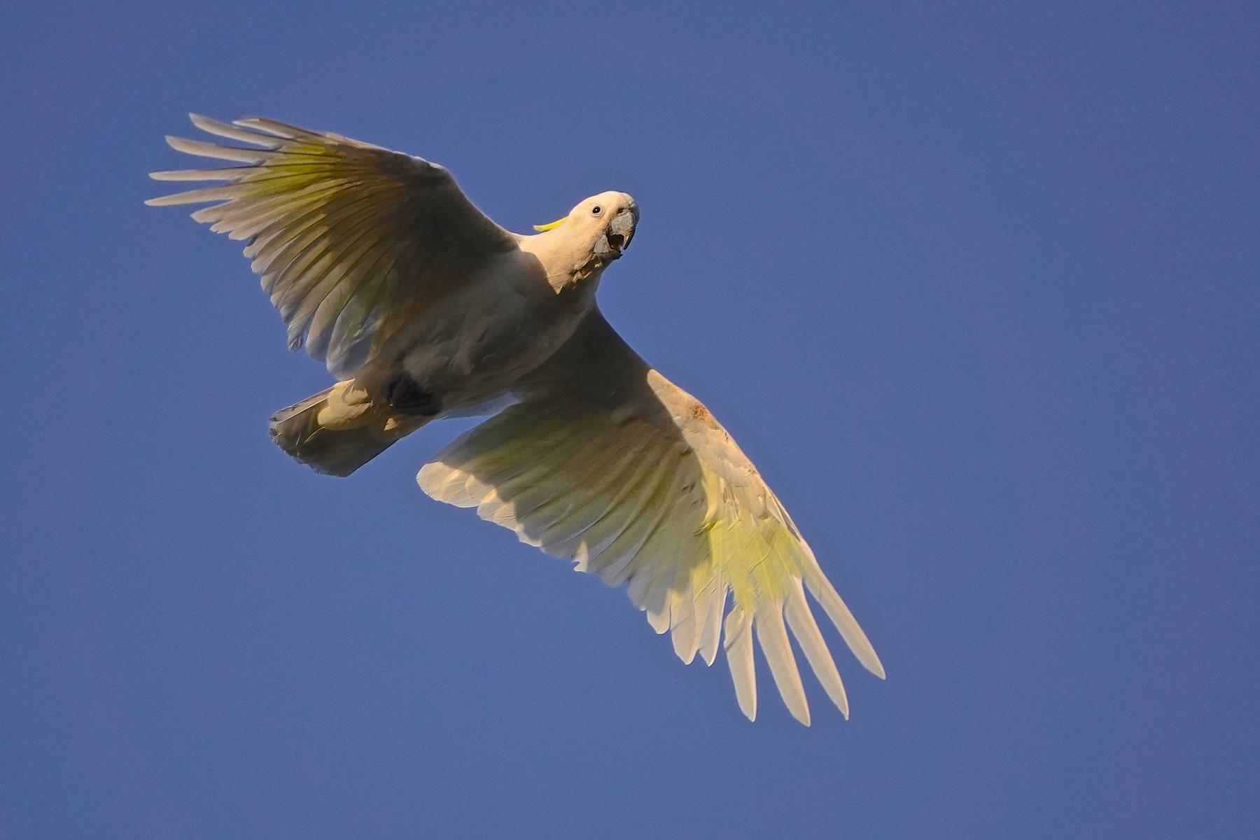 Sulphur-crested Cockatoo (Image ID 39821)