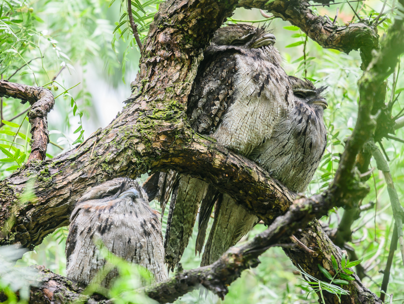 Tawny Frogmouth (Image ID 40253)