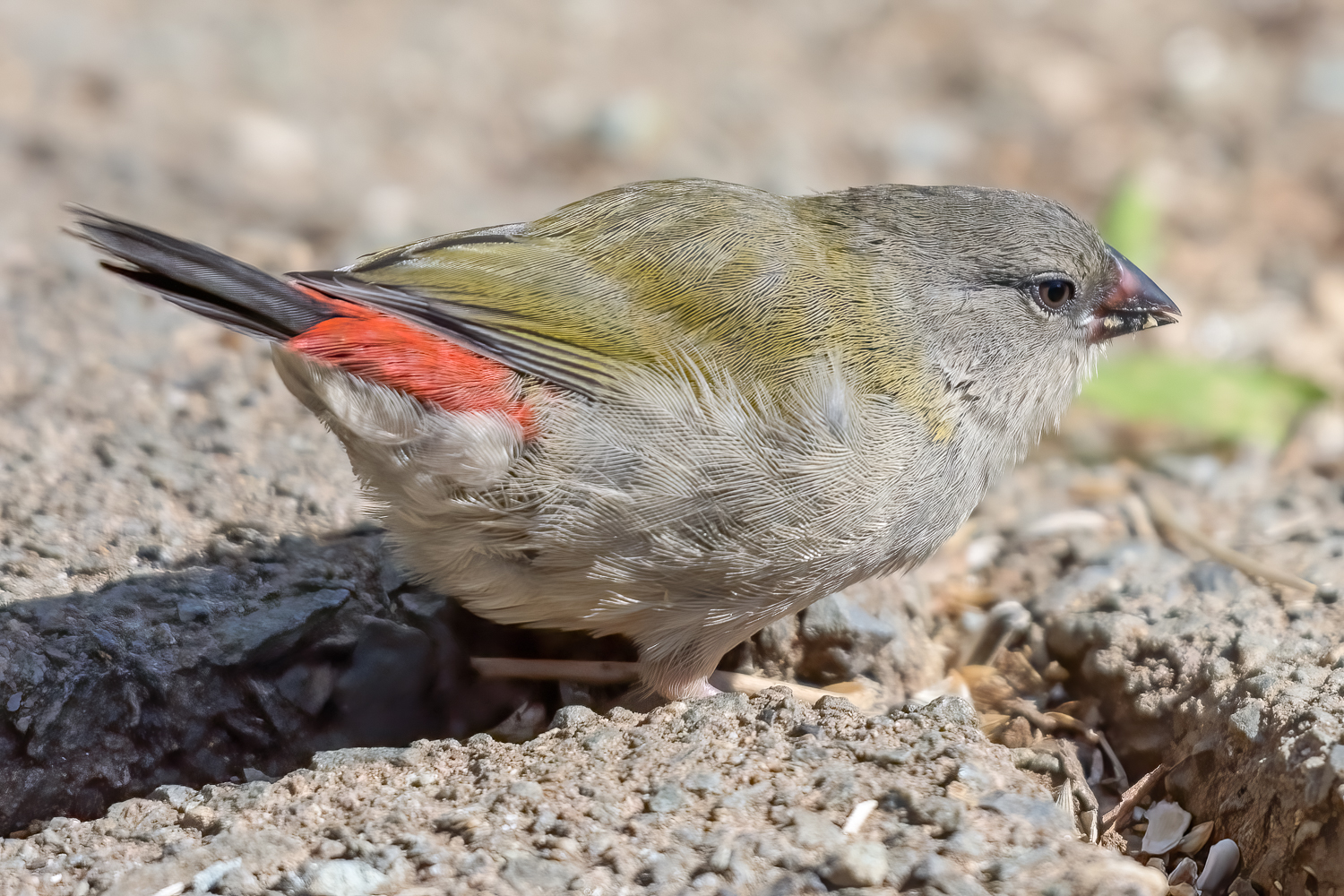 Red-browed Finch (Image ID 40502)