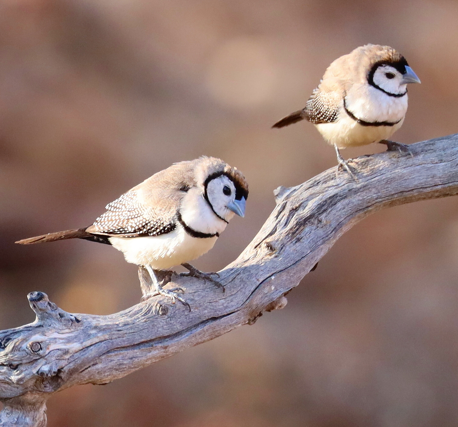 Double-barred Finch (Image ID 40331)
