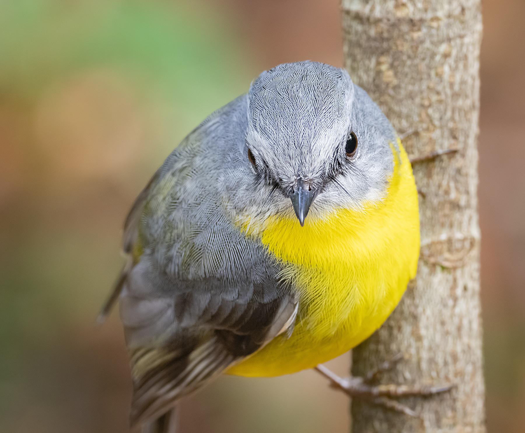 Eastern Yellow Robin (Image ID 40604)
