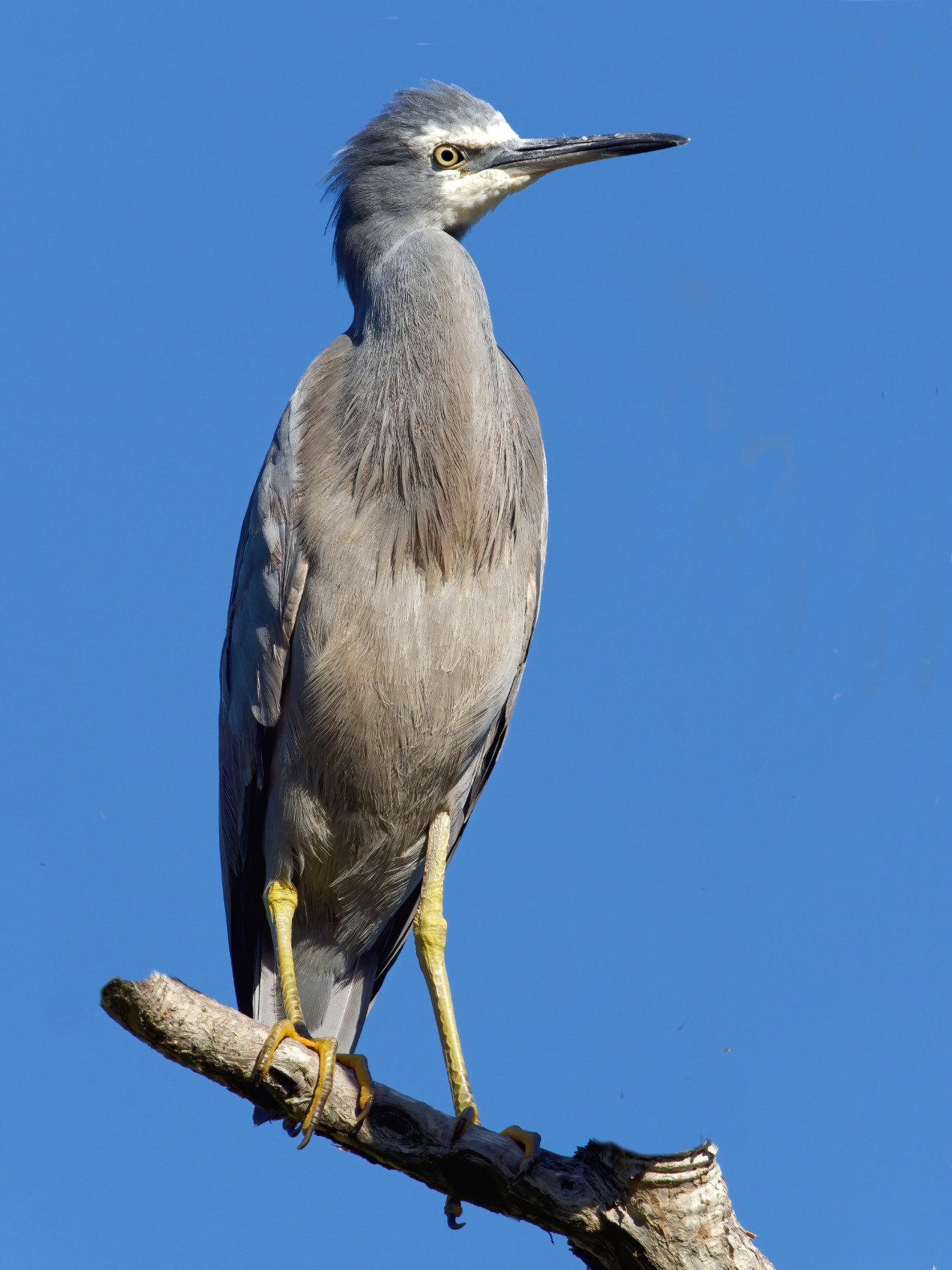 White-faced Heron (Image ID 40435)