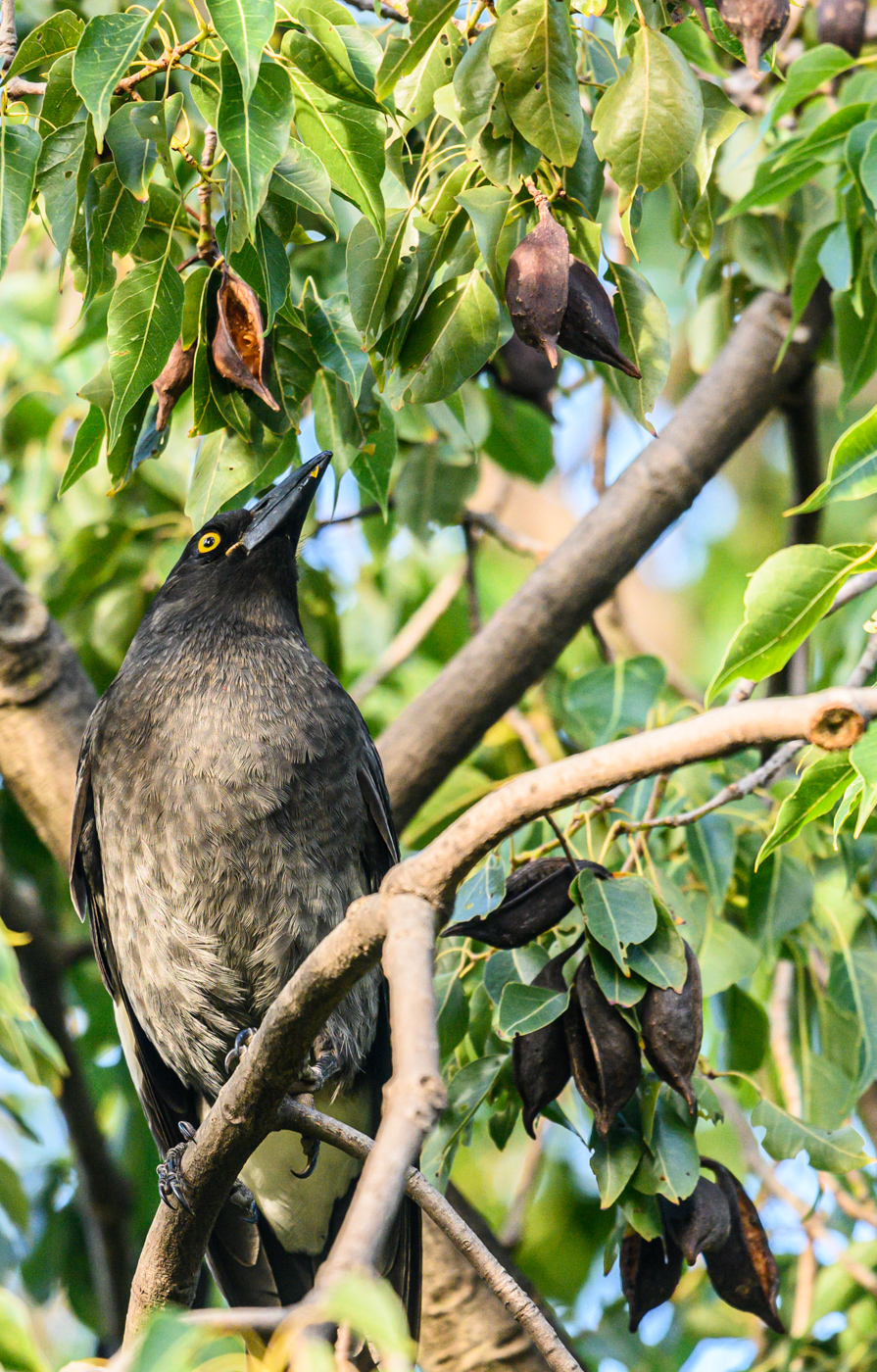 Pied Currawong (Image ID 40677)