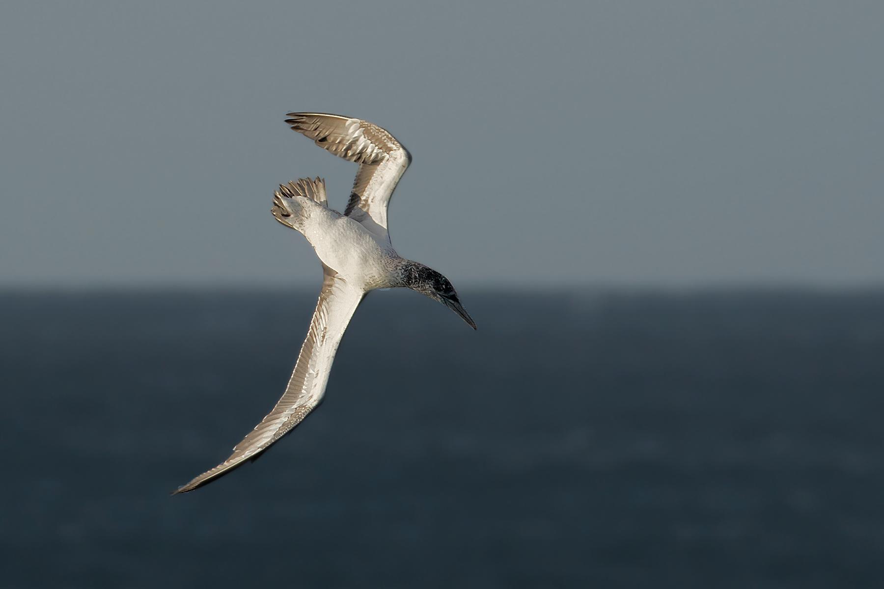 Australasian Gannet (Image ID 40491)