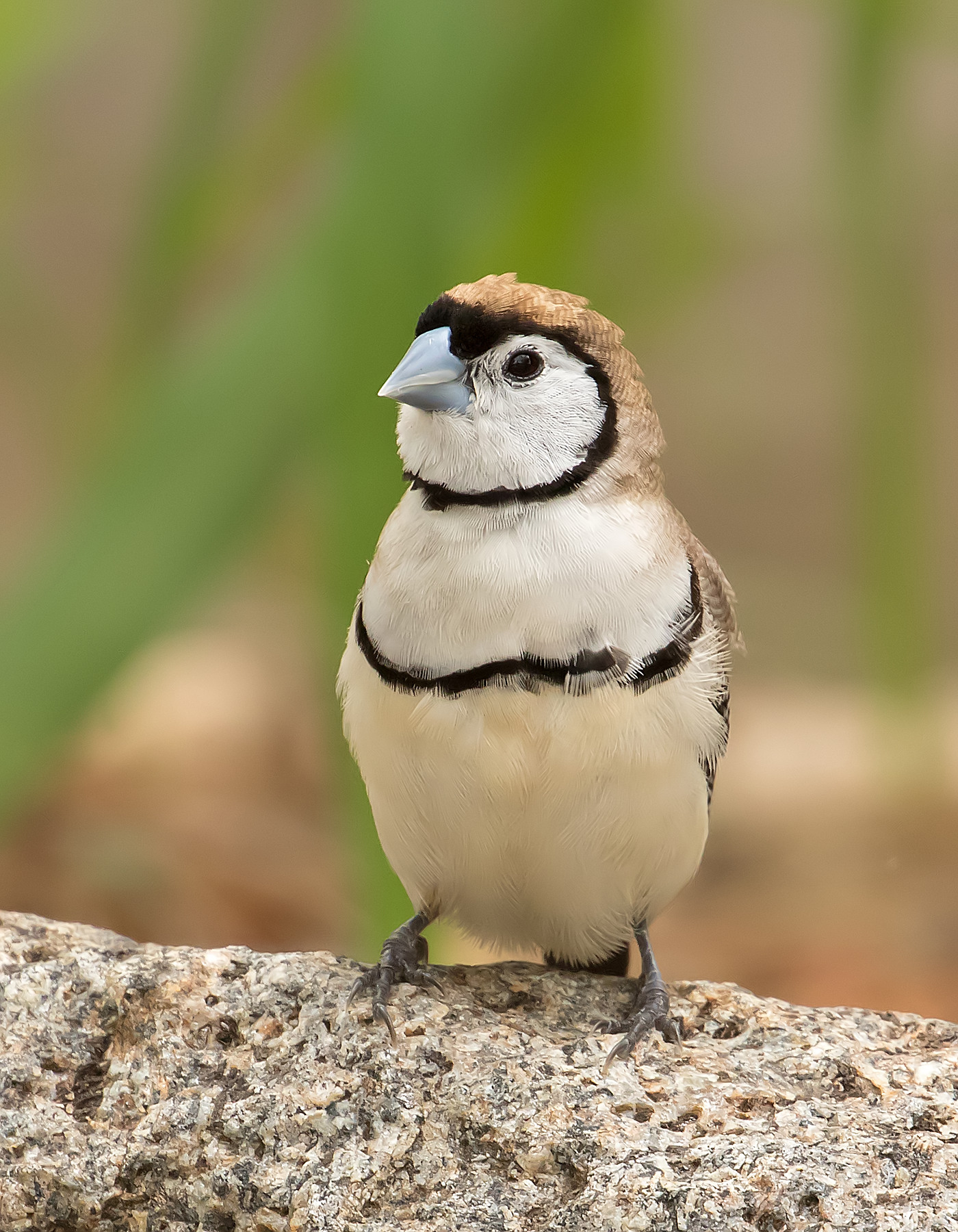 Double-barred Finch (Image ID 40457)