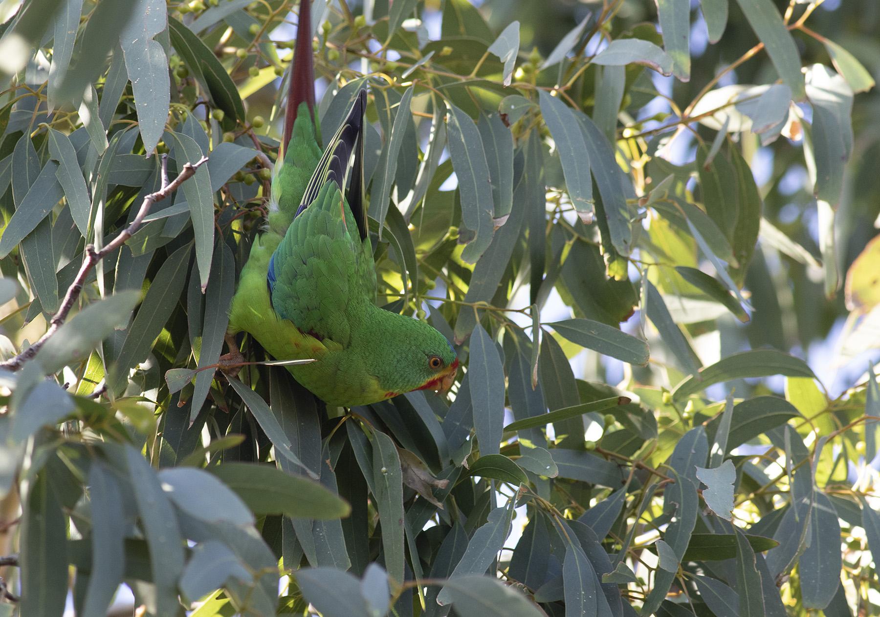 Swift Parrot (Image ID 40559)
