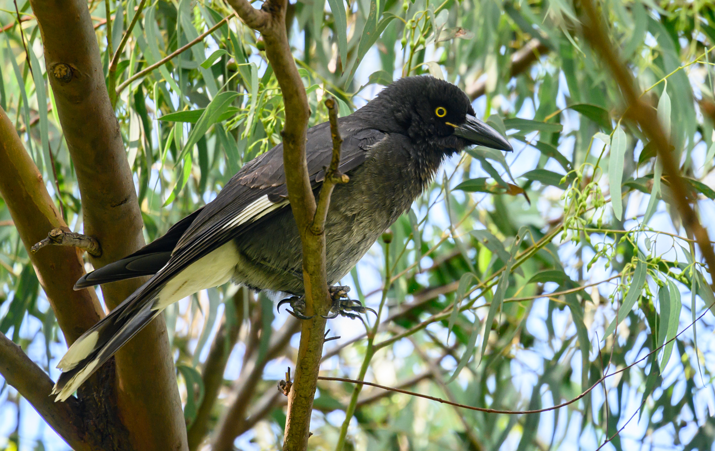 Pied Currawong (Image ID 40319)
