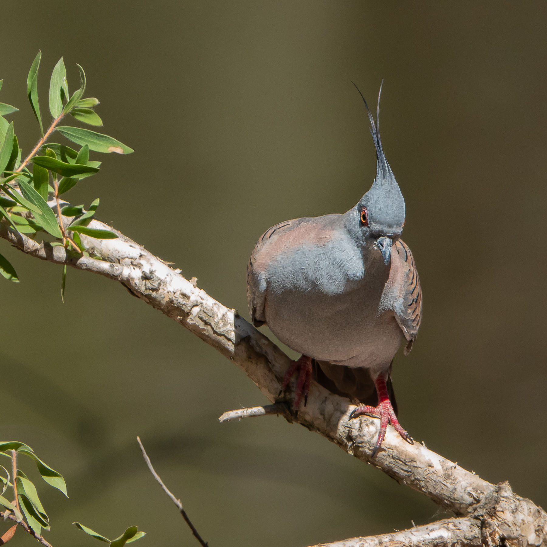 Crested Pigeon (Image ID 40313)