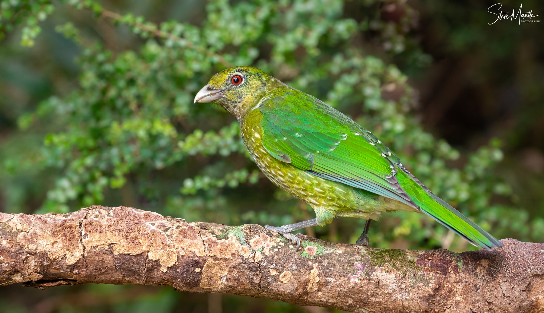 Green Catbird (Image ID 40504)