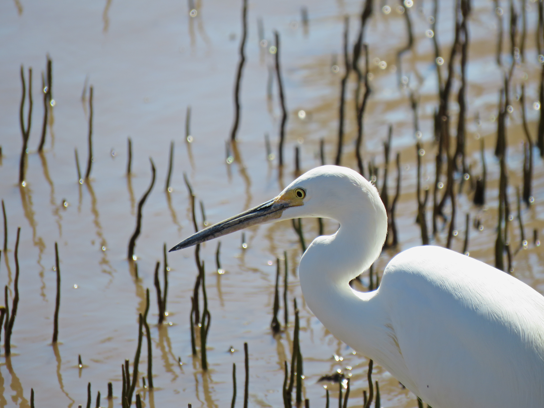 Intermediate Egret (V) (Image ID 40598)