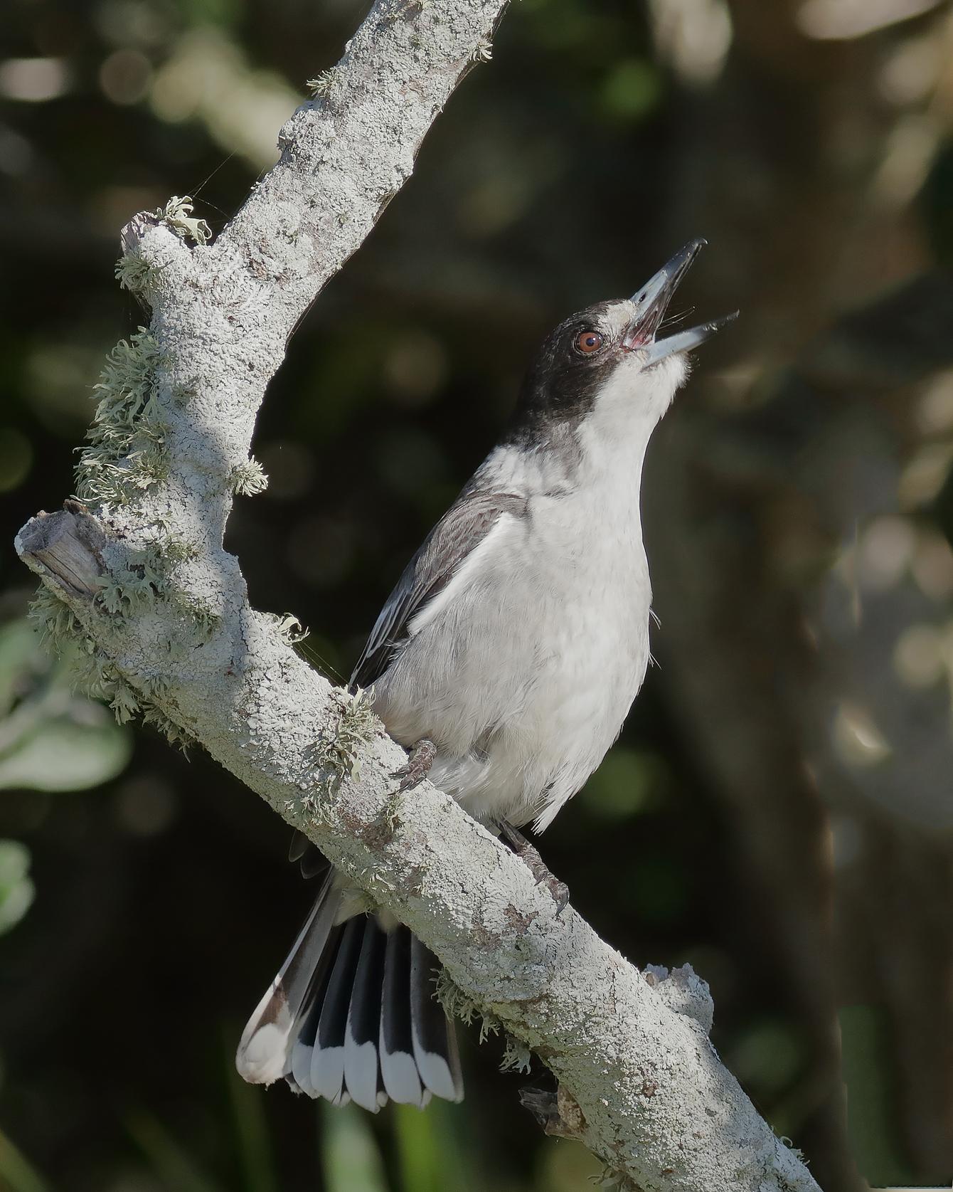 Grey Butcherbird (Image ID 40446)