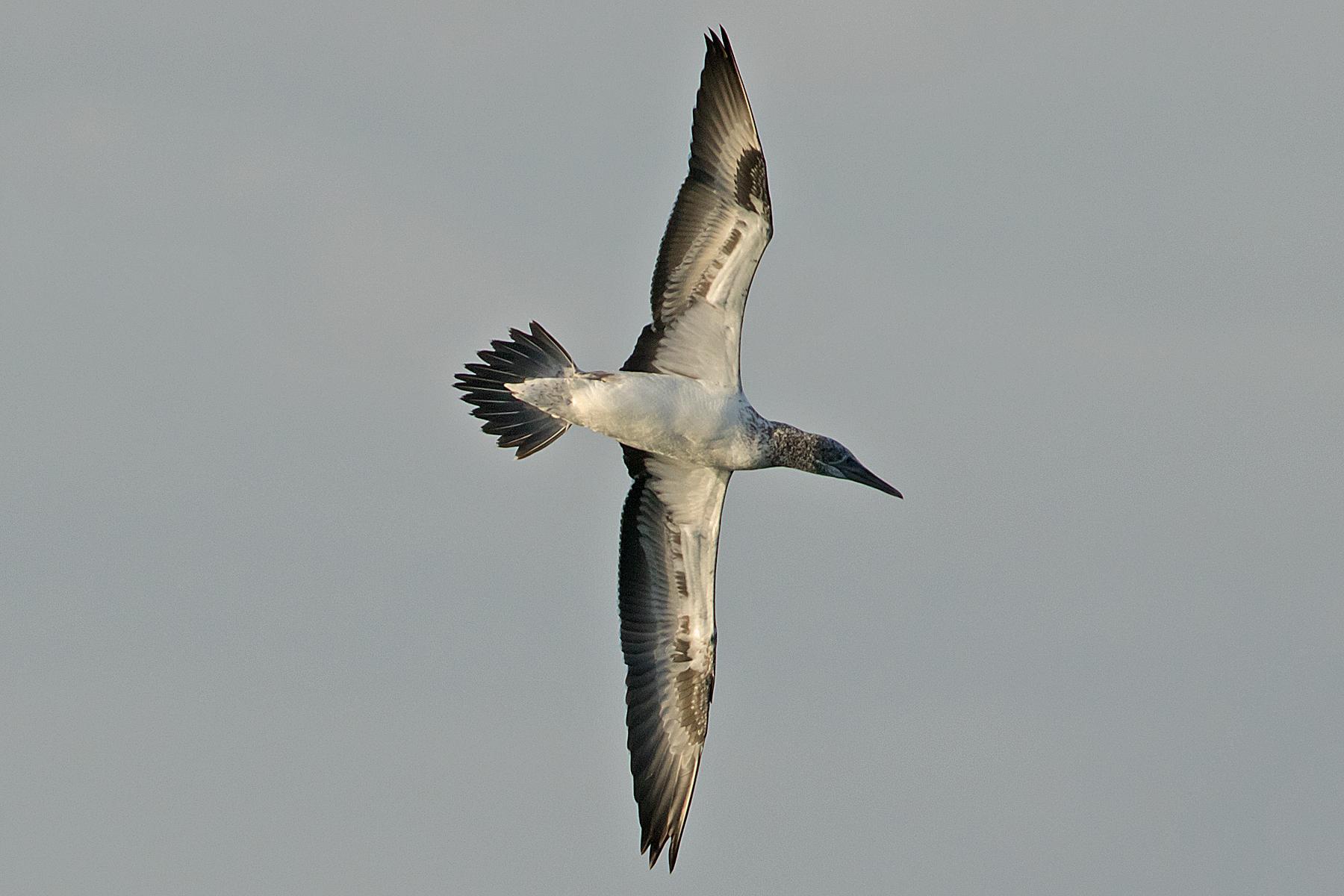 Australasian Gannet (Image ID 40488)