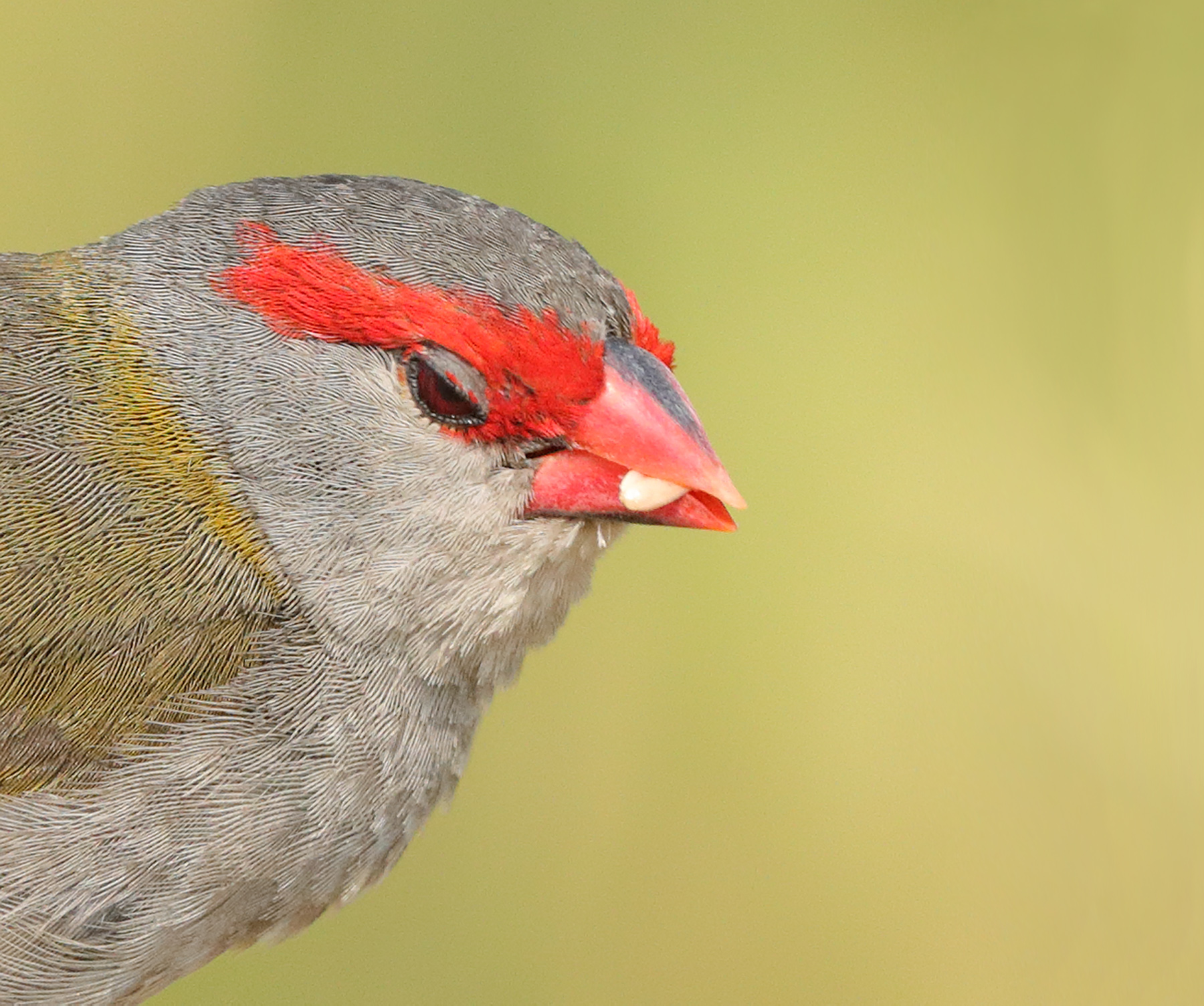 Red-browed Finch (Image ID 40425)