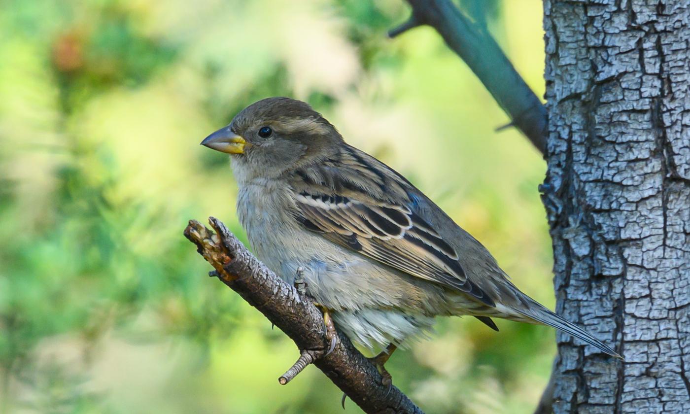 House Sparrow (Image ID 40409)