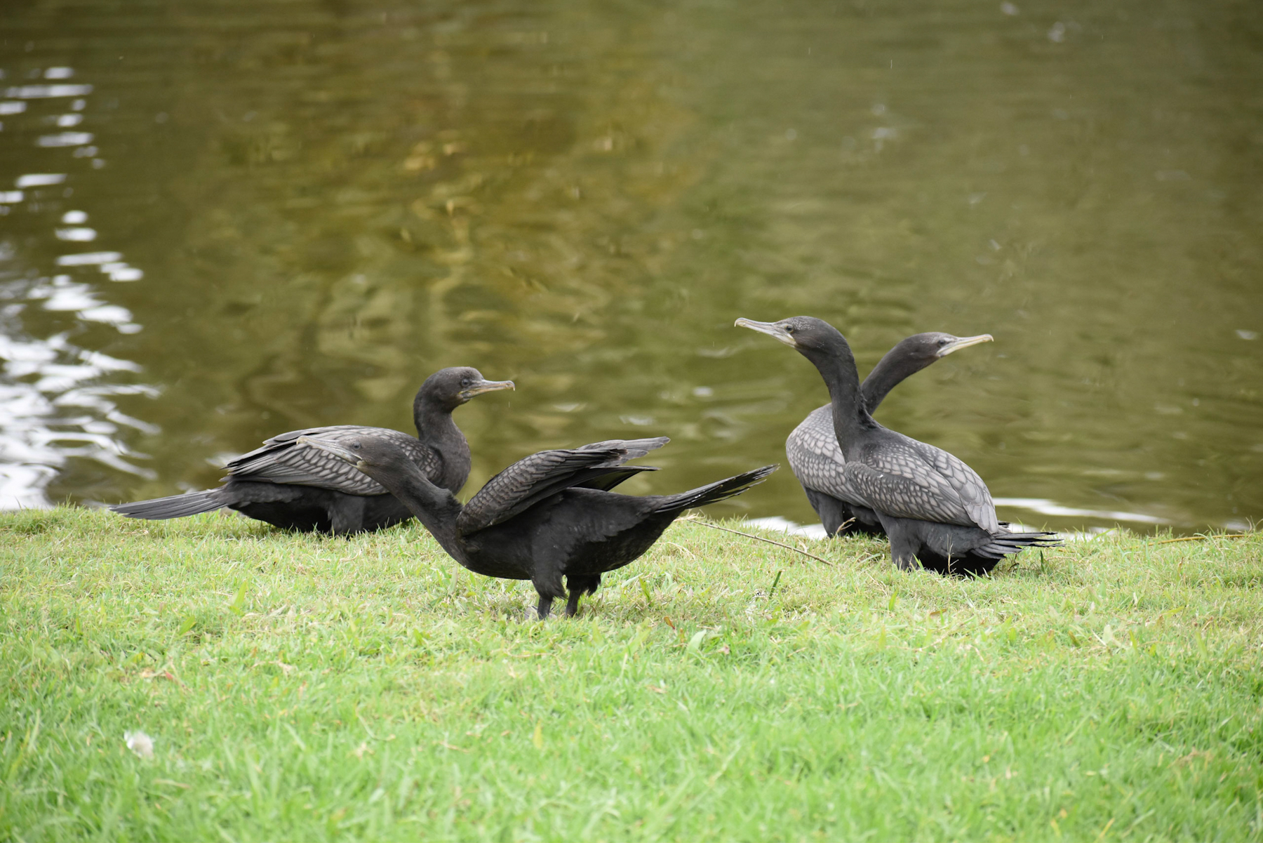 Little Black Cormorant (Image ID 40574)