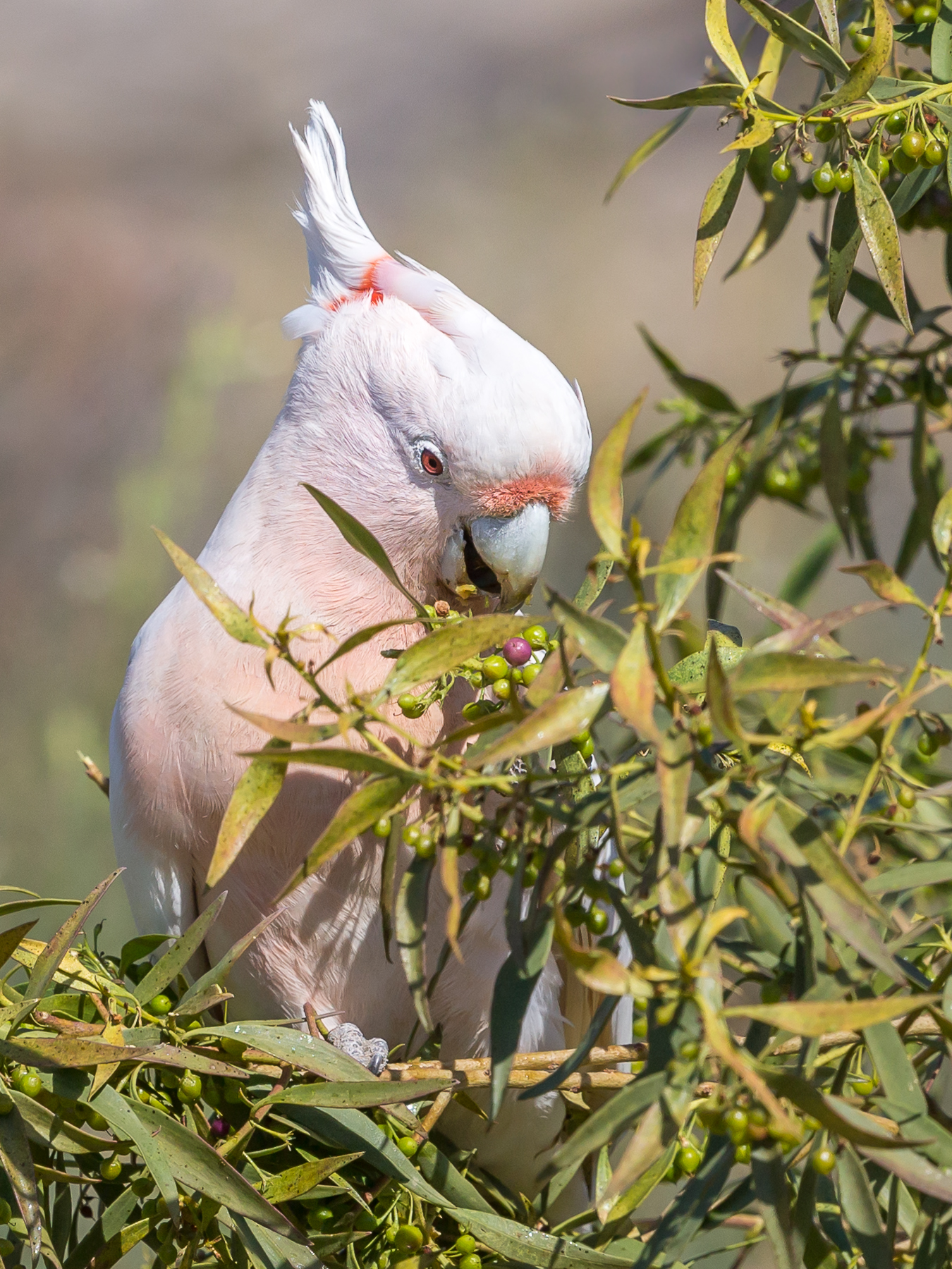 Major Mitchell's Cockatoo (Image ID 40652)
