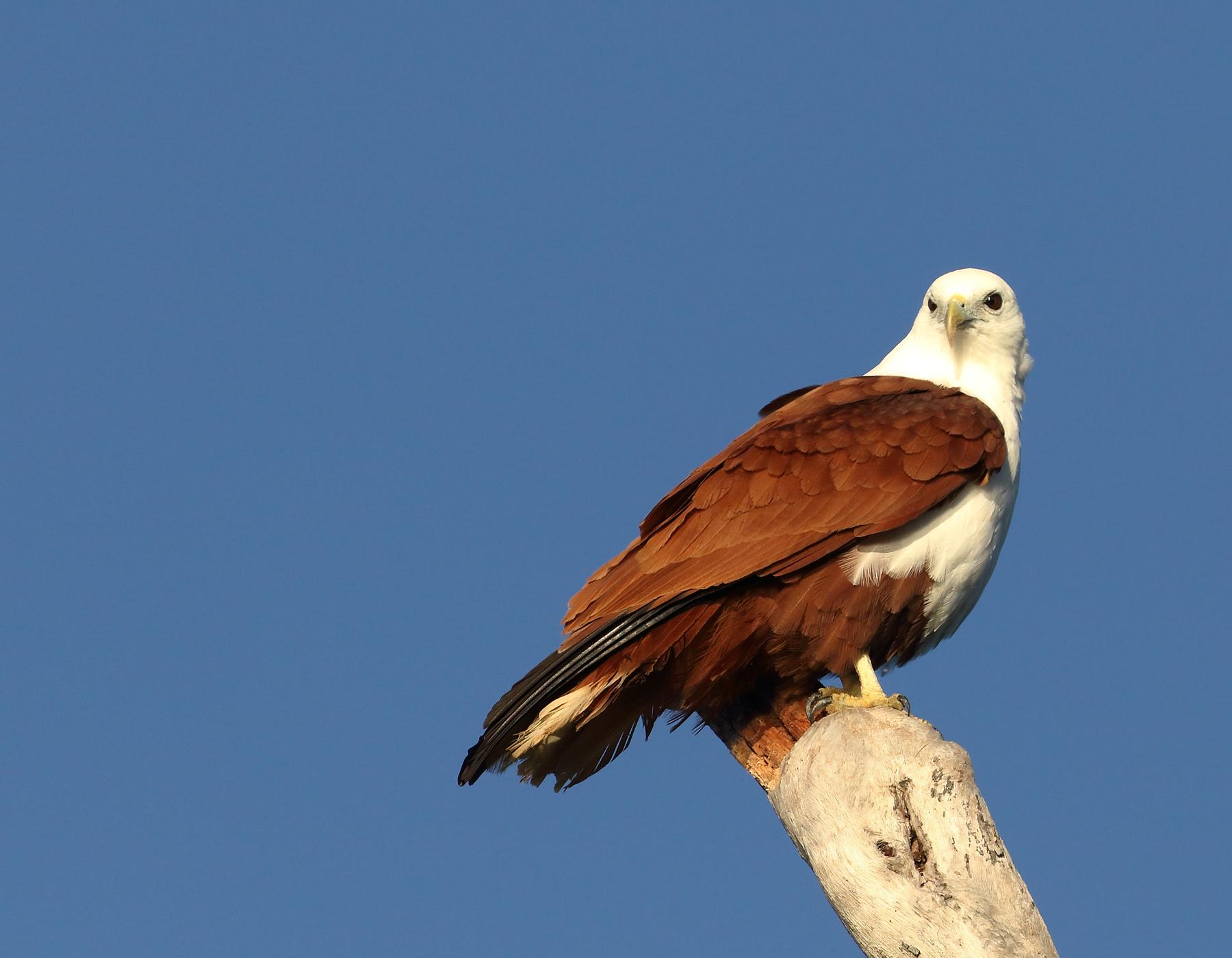 Brahminy Kite (Image ID 40646)