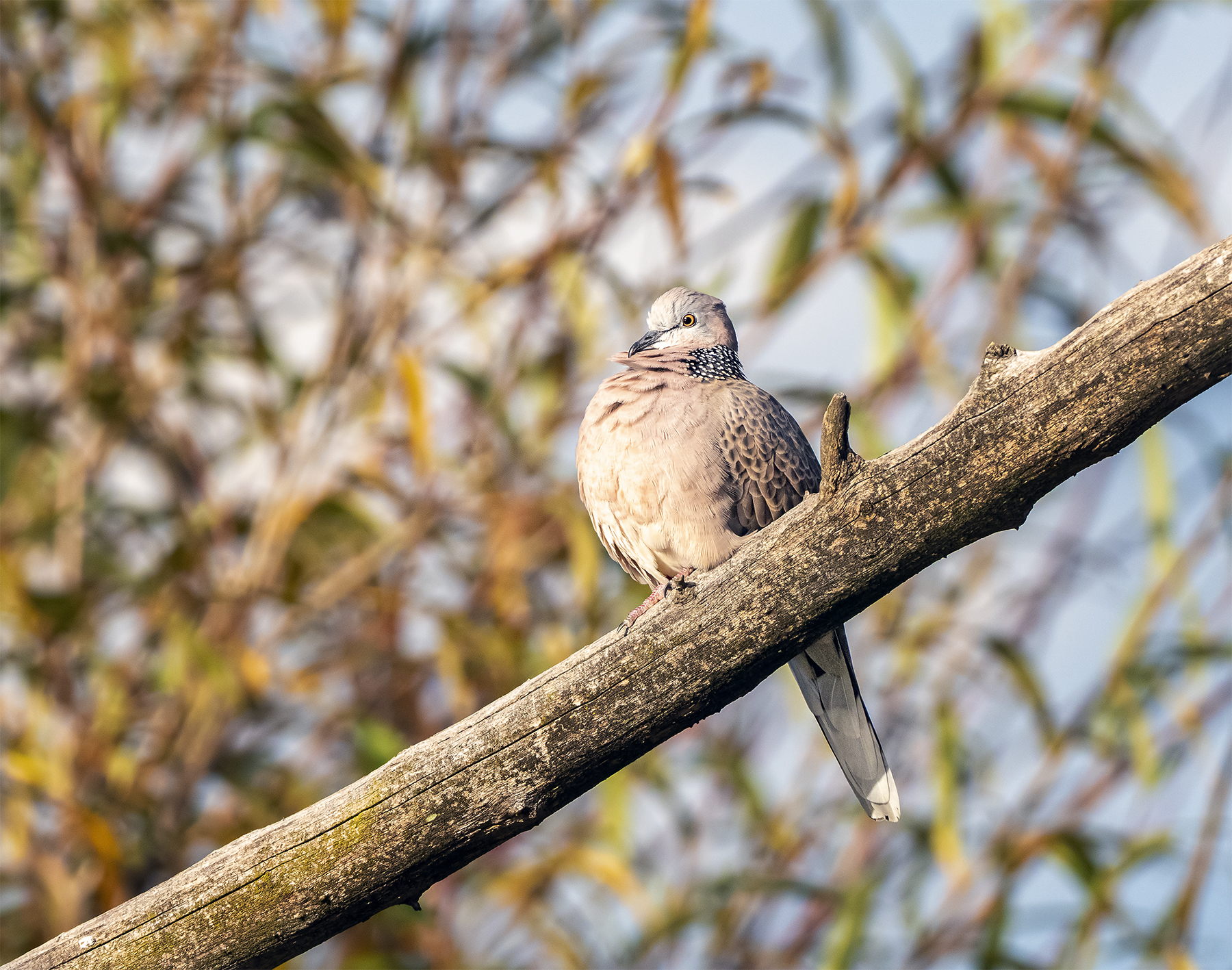 Spotted Dove (Image ID 40314)