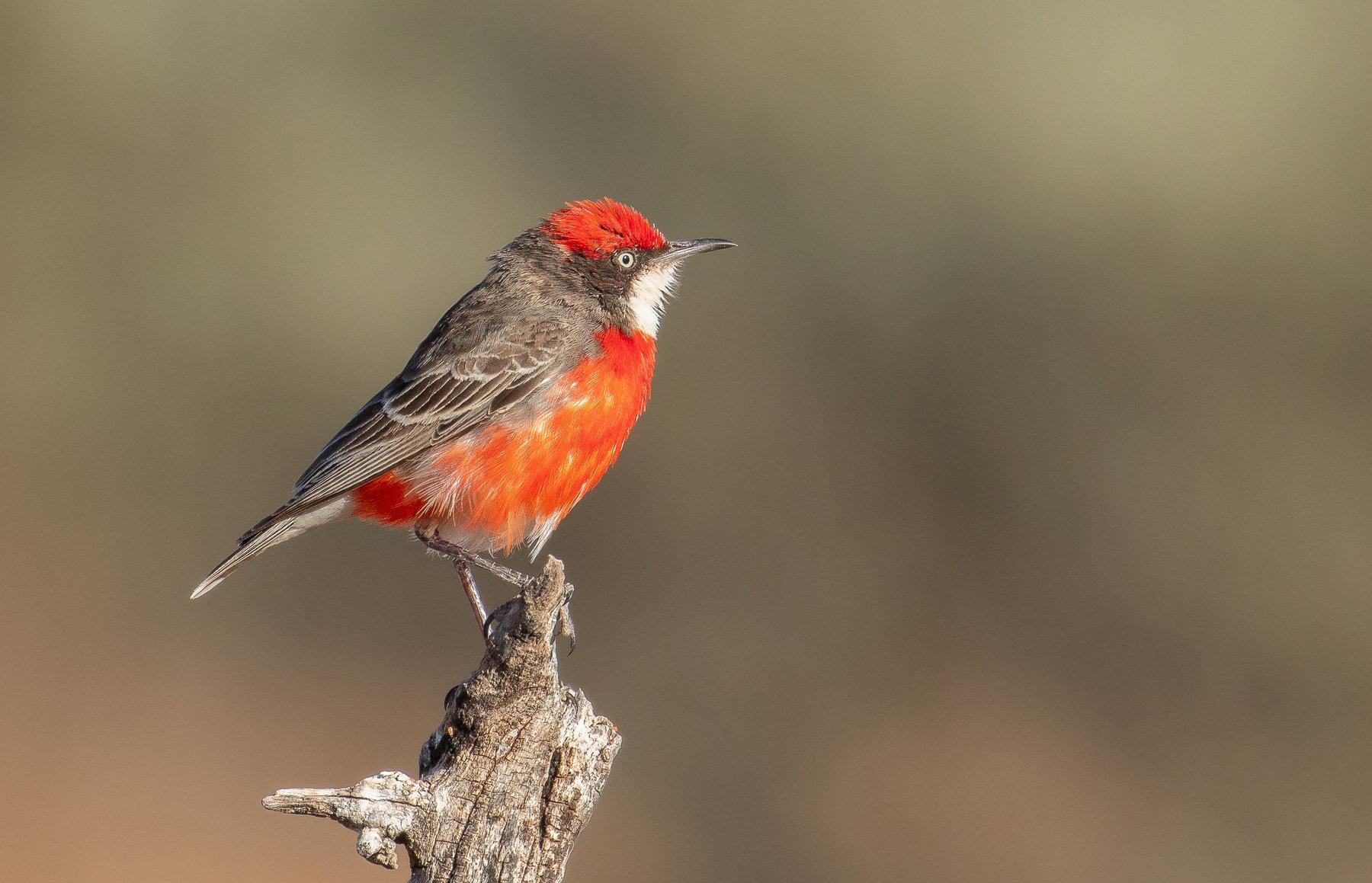 Crimson Chat (Image ID 40510)