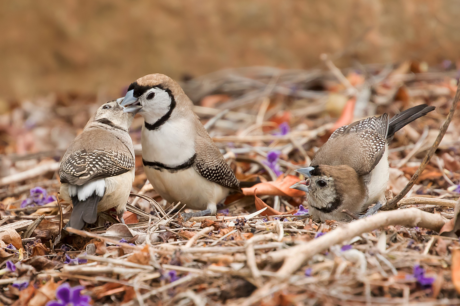 Double-barred Finch (Image ID 40456)