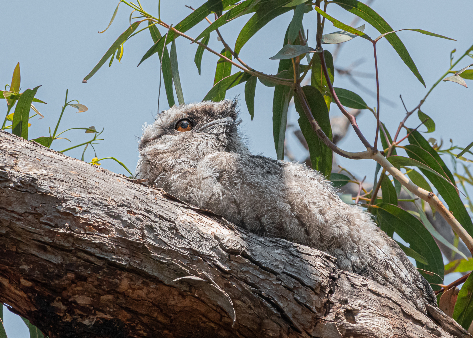 Tawny Frogmouth (Image ID 40379)