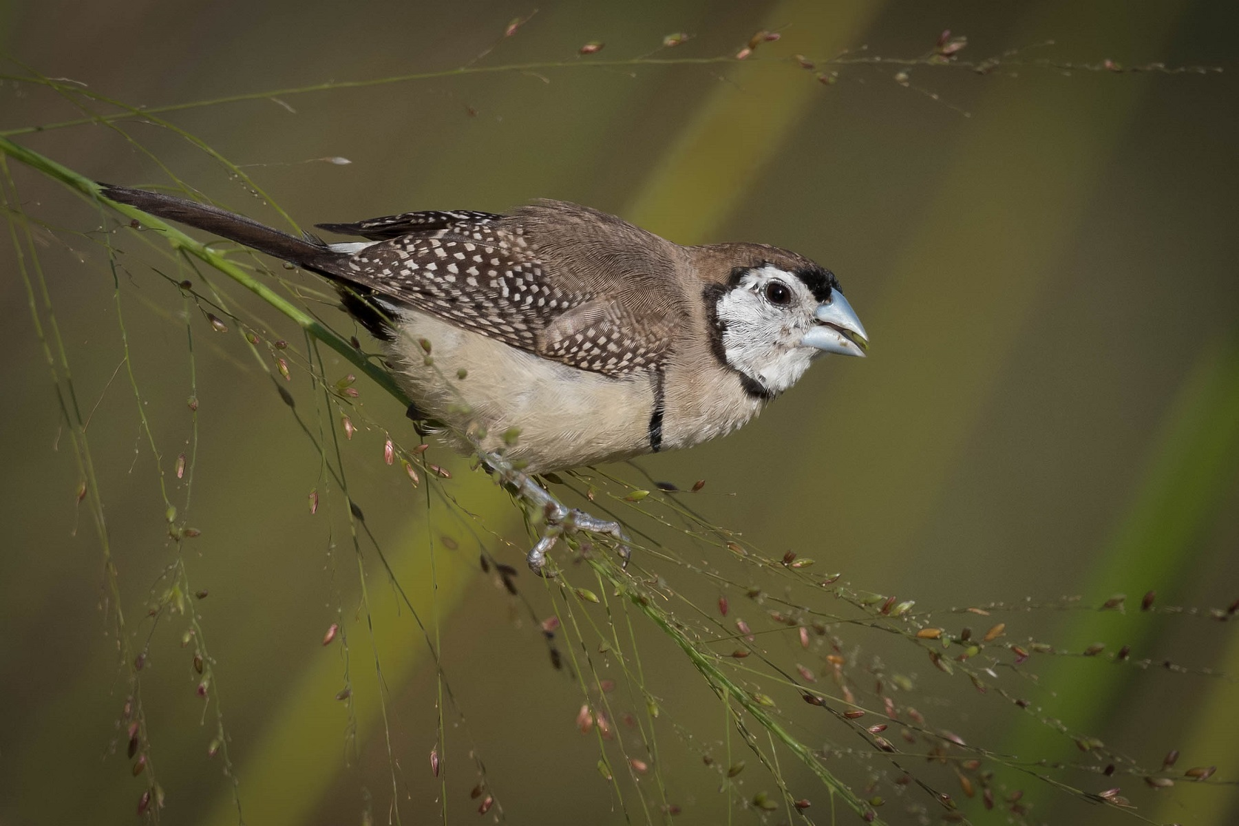 Double-barred Finch (Image ID 40545)