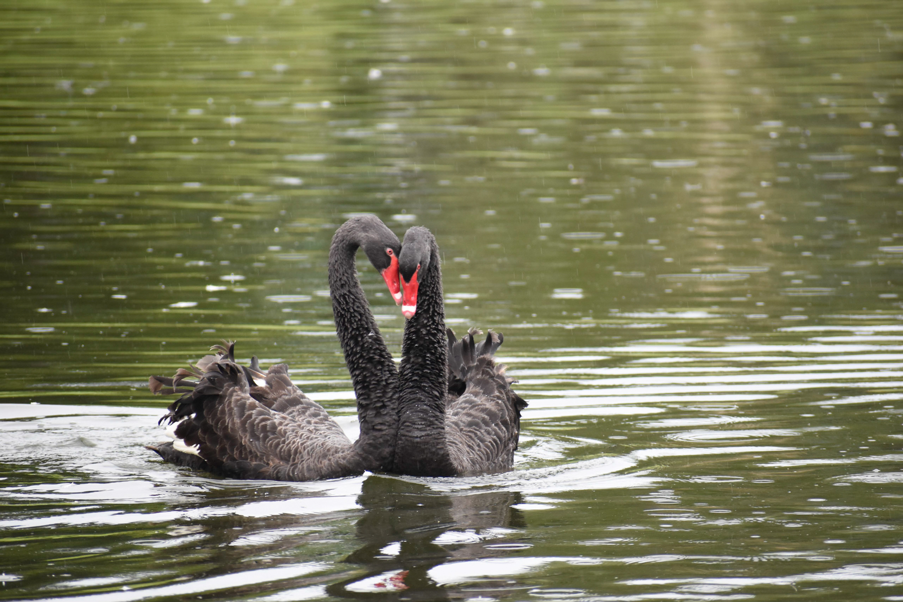 Black Swan (Image ID 40576)