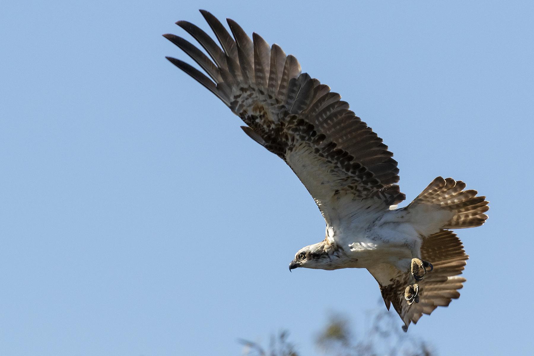 Osprey (Image ID 40637)