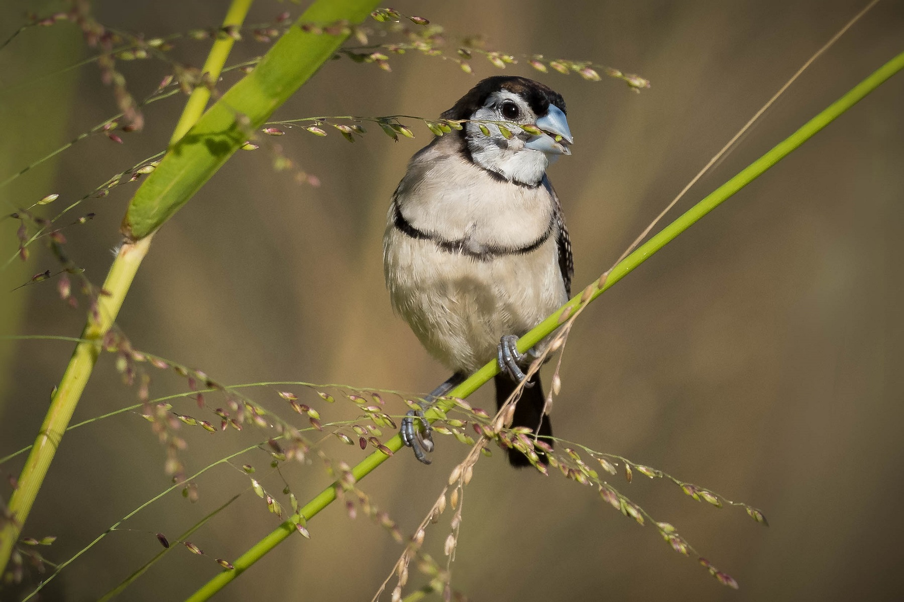 Double-barred Finch (Image ID 40550)